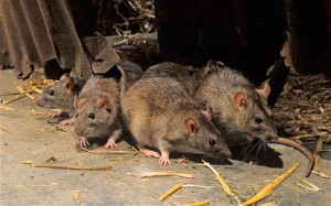 birmingam rat control www.birminghampestcompany.co.uk