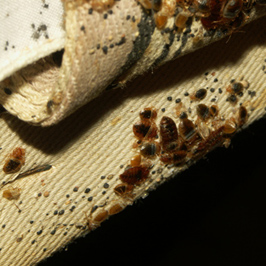 dudley bed bug treatment control picture